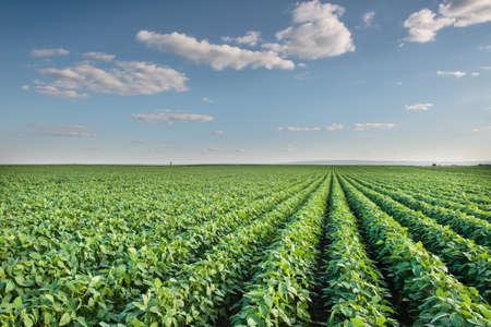 planta de frijol: Filas de campo de soja