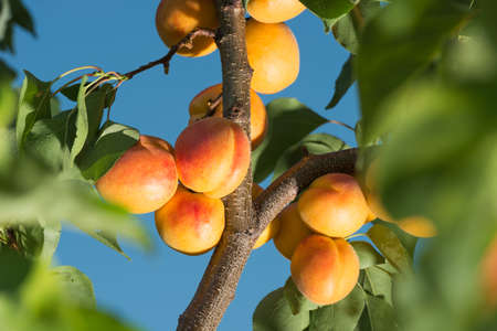 Ripe apricots on a tree branch photo