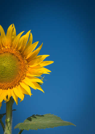 saturated color: sunflowers in the field against blue sky