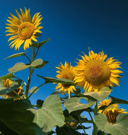 sunflowers in the field against blue sky photo