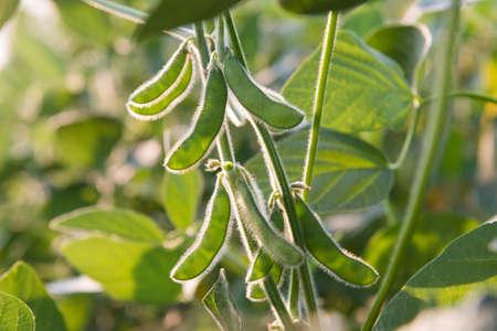 フィールドで大豆の豆植物のクローズ アップ 写真素材