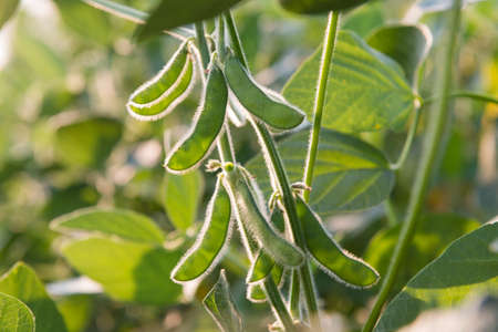 close up of the soy bean plant in the field Stock Photo