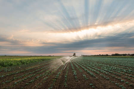 irrigation of vegetables into the sunset photo