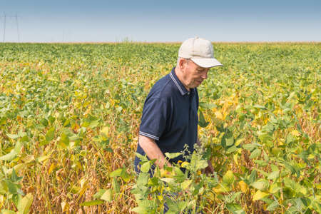 soybean: happy farmer checking soybean field