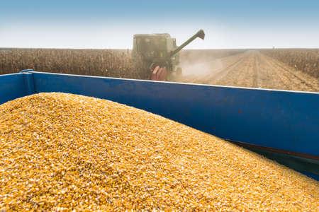 tractors: corn harvest on a farmland