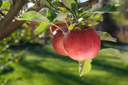 Roten reifen Äpfel auf dem Zweig Standard-Bild - 23251520