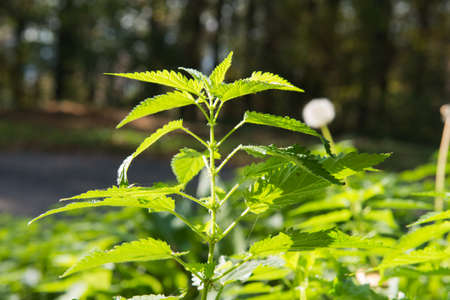 green stinging nettle in forest photo