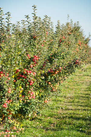 APPLE trees: Trees with red apples in an orchard