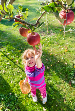 kleines Mädchen nahm reifen Äpfeln