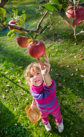 little girl picked ripe apples photo