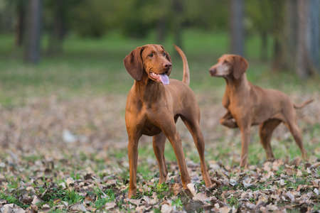 pointer dog: female and male brown hound dog exploring environment