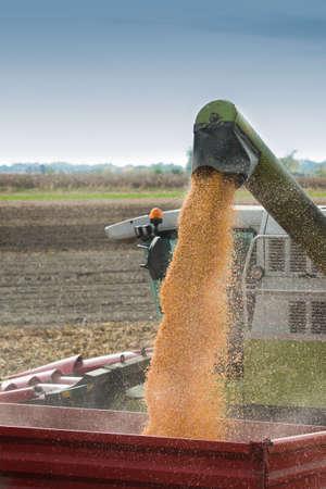 planta de maiz: Descarga de una abundante cosecha de maíz después de la cosecha