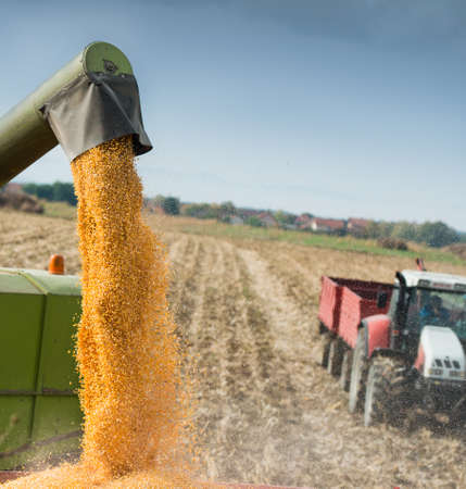 Unloading a bumper crop of corn after harvest Stock Photo