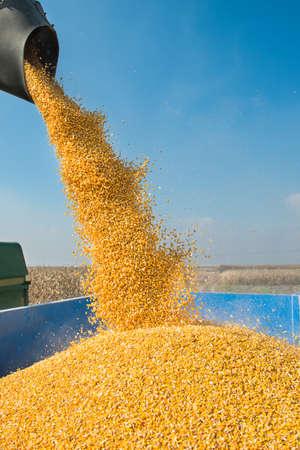 récolte de maïs sur des terres cultivables