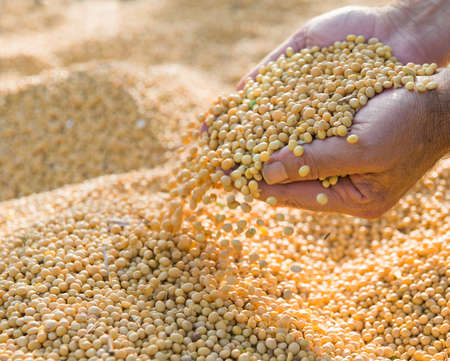 protein crops: Human hands pouring soy beans after harvest Stock Photo