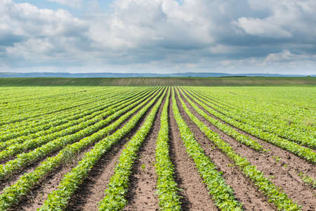 soya bean: soja campo con hileras de plantas de frijol de soja Foto de archivo