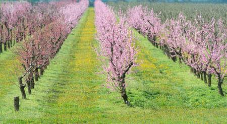 flor de durazno: floración huerto de durazno en la primavera