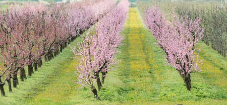 peach blossom: blooming peach orchard in spring Stock Photo