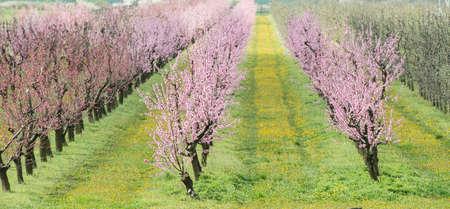 flor de durazno: floreciente huerto de durazno en la primavera Foto de archivo