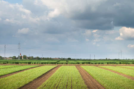 field of young wheat in spring photo