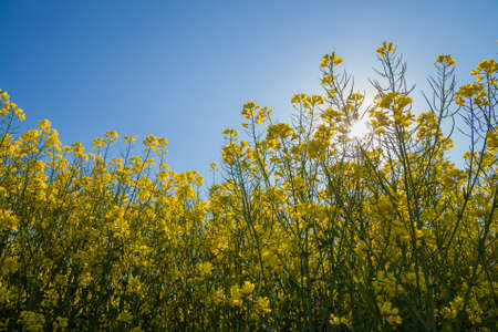 oilseed: field of oilseed rape in spring Stock Photo
