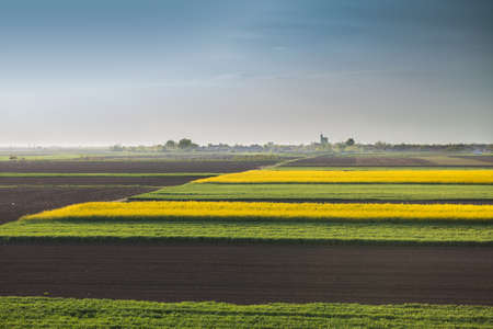 oilseed: field of oilseed rape in spring Stock Photo