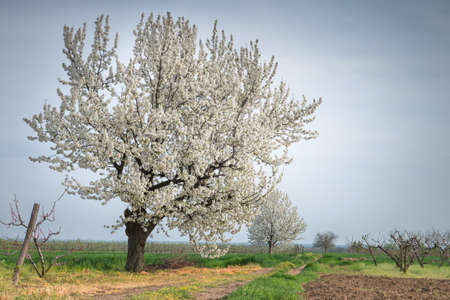 Single blossoming tree in spring photo