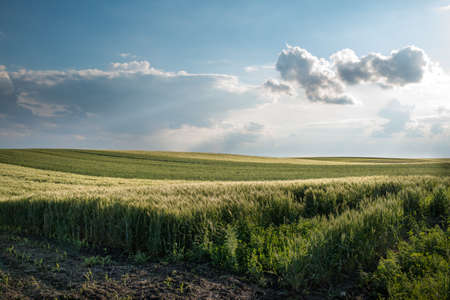 young wheat field at sunset photo