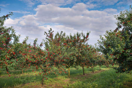 Ripening cherries on orchard tree photo