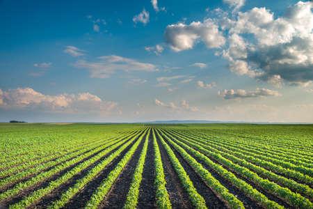 crop cultivation: Soybean Field Rows in summer