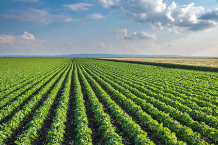 monoculture: Soybean Field Rows in summer