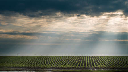 agriculture industry: Soybean Field Rows in spring