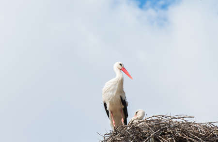 sitter: two storks on their nest Stock Photo