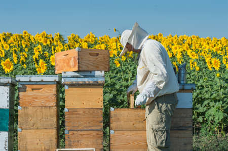 Beekeeper working in the field of sunflowers photo