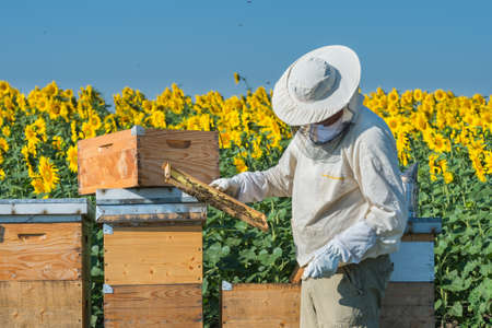 Beekeeper working in the field of sunflowers Imagens