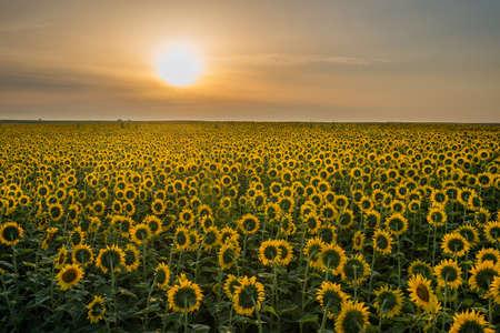 beauty sunset over sunflowers field photo