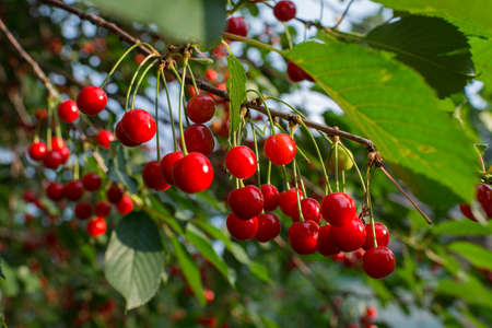 sour cherries on the tree Imagens