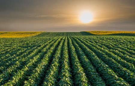 campo de flores: Filas de campo de soja en la puesta del sol