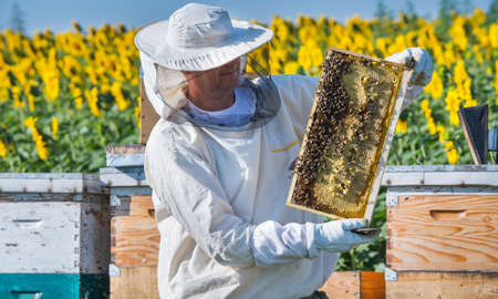 beekeeper: Beekeeper working in the field of sunflowers Stock Photo