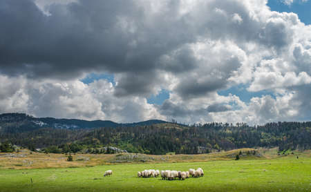 Flock of sheep in the mountains photo