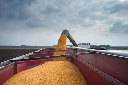 corn harvest on a farmland