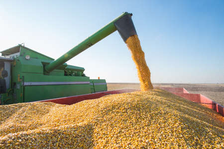 mazorca de maiz: Cosecha de ma�z en oto�o
