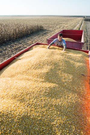 corn fields: farmer holding ripe corns Stock Photo