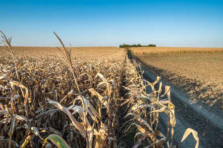 upright row: Ripe corn field in autumn