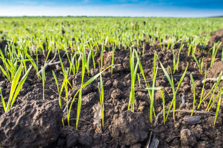 non cultivated: Young wheat field in spring Stock Photo
