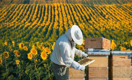 abeja: Apicultor que trabaja en el campo de girasoles Foto de archivo