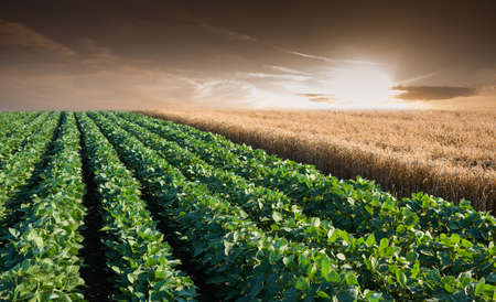 Soybean Field Rows in sunset photo