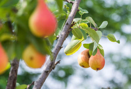 pear: Branch with ripe juicy pears