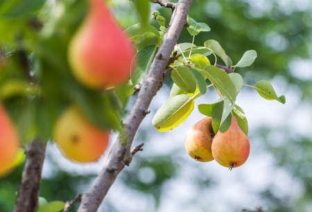 pera: Rama con jugosas peras maduras Foto de archivo