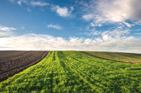 winter wheat: Winter wheat field in morning Stock Photo